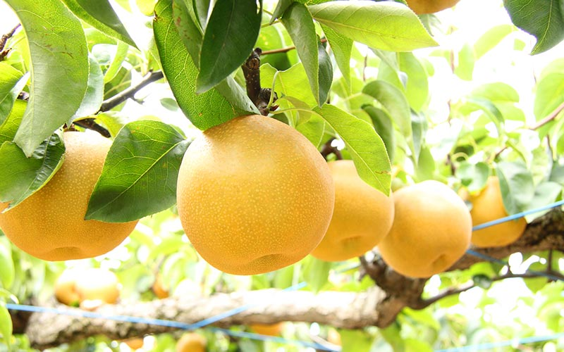 Awara Pears